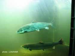 saumon_atlantique